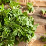 comment cultiver le fenugrec