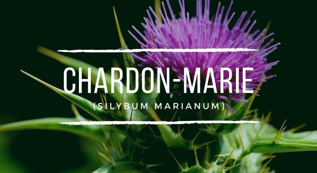 Chardon-Marie : Propriétés, Utilisation & Bienfaits