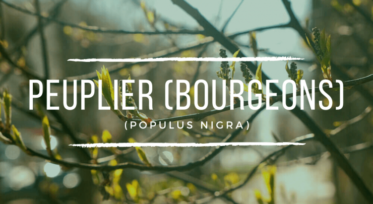 bourgeons de peuplier
